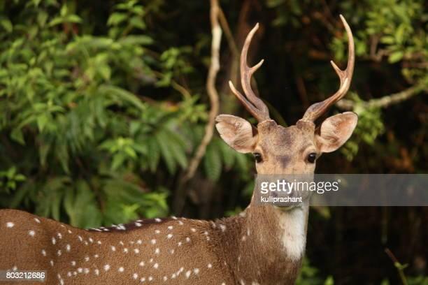 Spotted Deer in NagarahoLe National Park