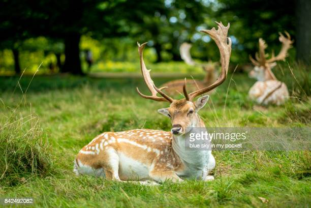 Spotted Deer in the largest open space in London, Richmond Park.