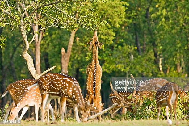 Spotted deer in the National Park of Nijhum Dwip in the shallow estuary of the Bay of Bengal south of Noakhali district Bangladesh The Forest...