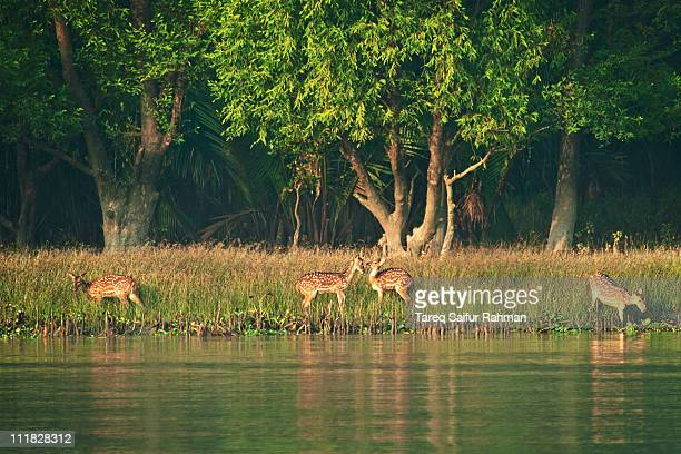 spotted deer of sundarban - khulna stock photos and pictures