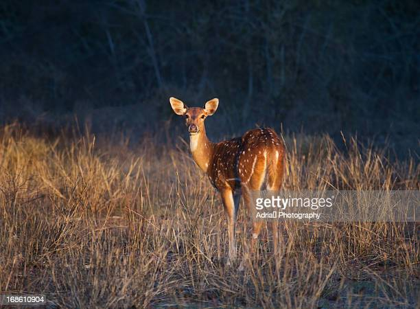 spotted deer - bandhavgarh national park stock pictures, royalty-free photos & images