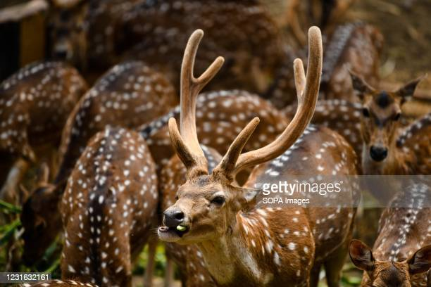 Spotted deer seen grazing in an enclosure at the Dhaka Zoo. Bangladesh National Zoo is located in the Mirpur section of Dhaka, the capital city of...