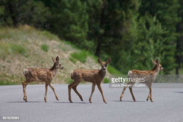 spotted deer walking on road during sunny day - cerbiatto foto e immagini stock