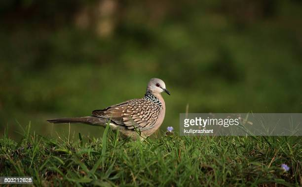 Spotted Dove at Bandipur National Park