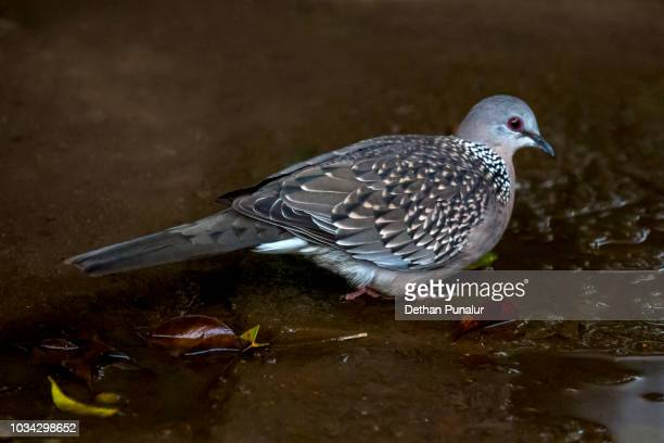 Spotted dove(Spilopelia chinensis)