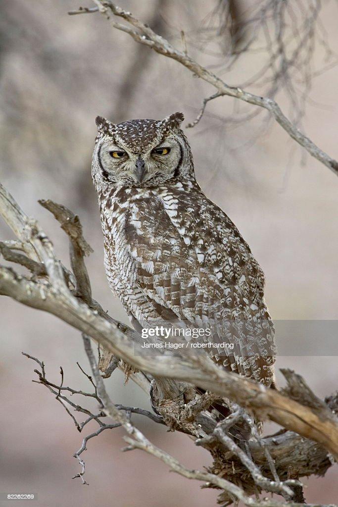 Spotted eagle owl (Bubo africanus), Kgalagadi Transfrontier Park, encompassing the former Kalahari Gemsbok National Park, South Africa, Africa : Stock Photo