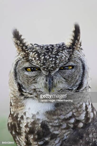 Spotted eagle owl (Bubo africanus), Kgalagadi Transfrontier Park, encompassing the former Kalahari Gemsbok National Park, South Africa, Africa