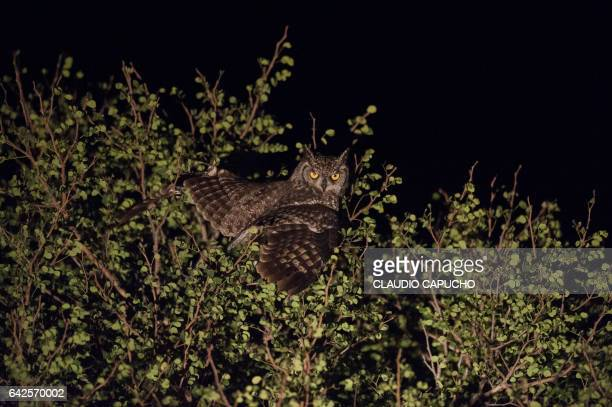 spotted eagle owl - claudio capucho stock photos and pictures