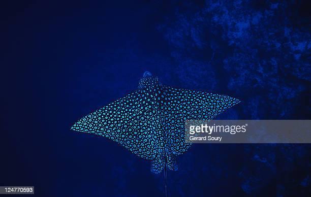 spotted eagle ray, aetobatus narinari, ari atoll, maldives - animal body stock pictures, royalty-free photos & images