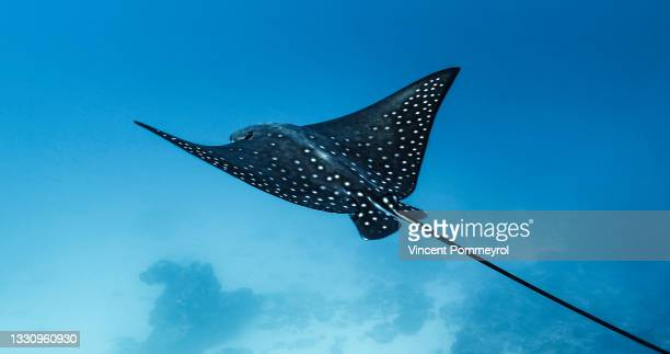 spotted eagle ray (aetobatus narinari) - underwater film camera stock pictures, royalty-free photos & images