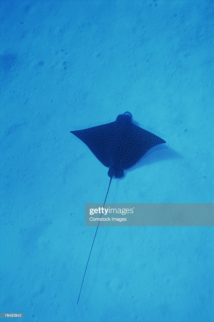 Spotted eagle ray : Stockfoto