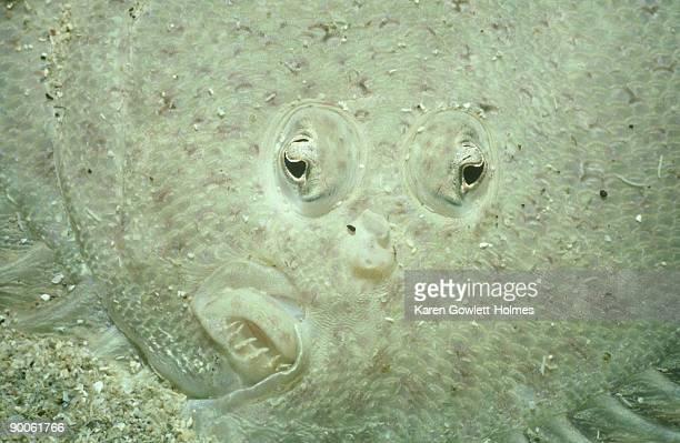 spotted flounder: ammotretis lituratus  head  tas, australia