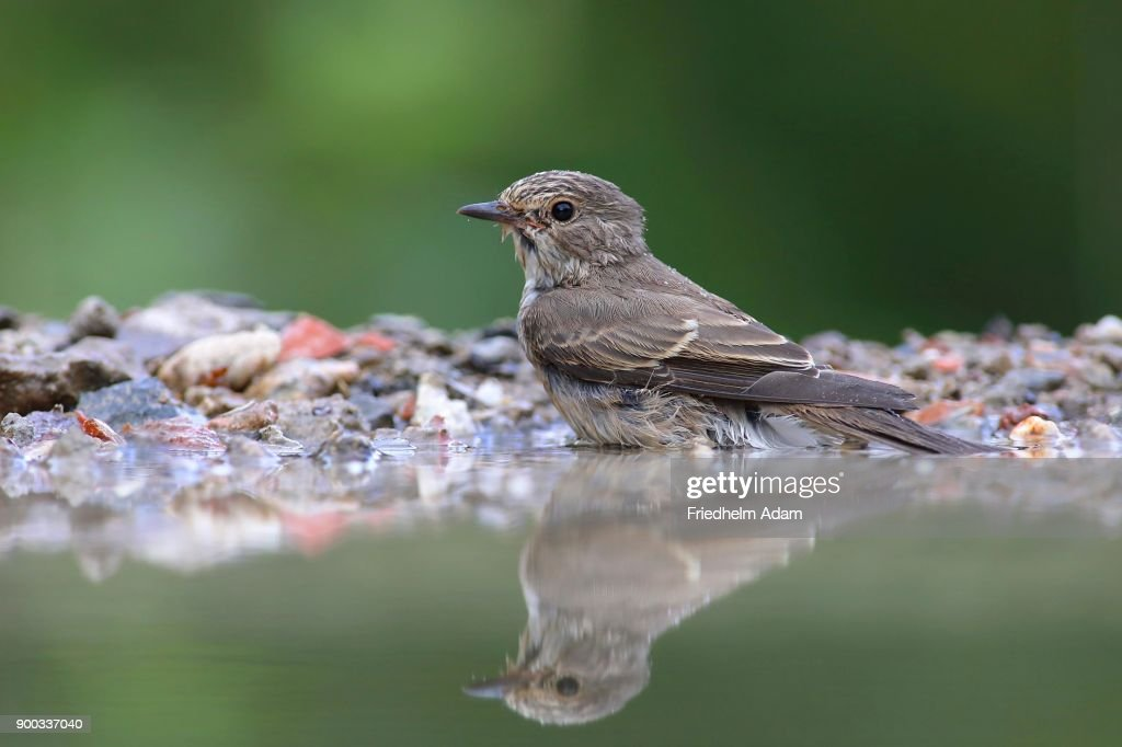 Spotted Flycatcher Sits In Shallow Water In A Bird Bath Siegerland ...
