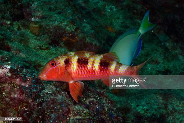 spotted goatfish. - スクーバダイビングの視点 ストックフォトと画像