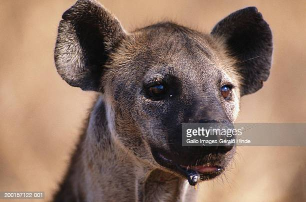 spotted hyaena (crocuta crocuta), close-up - spotted hyena stock pictures, royalty-free photos & images