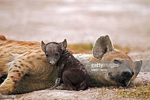 Spotted Hyaena, Crocuta crocuta, mother and newborn pup. Amboseli National Park, Kenya.