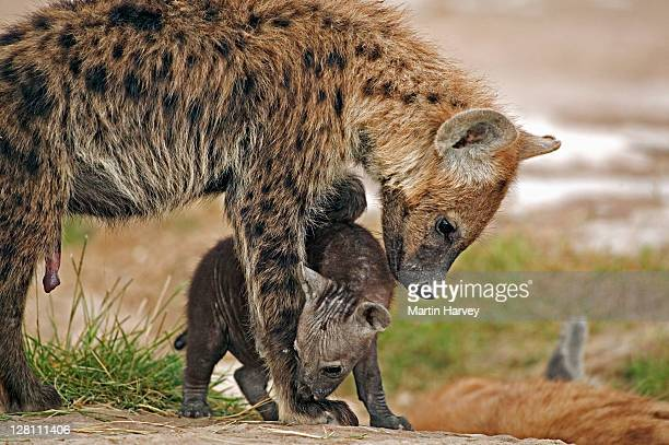 spotted hyaena, crocuta crocuta, mother and newborn pup. amboseli national park, kenya. - female animal stock pictures, royalty-free photos & images