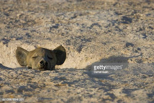 spotted hyaena, crocuta crocuta, resting in hole - spotted hyena stock pictures, royalty-free photos & images