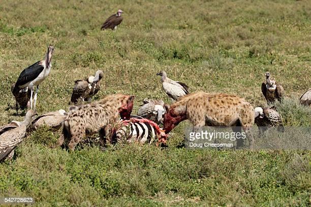 Spotted Hyaenas feeding on zebra