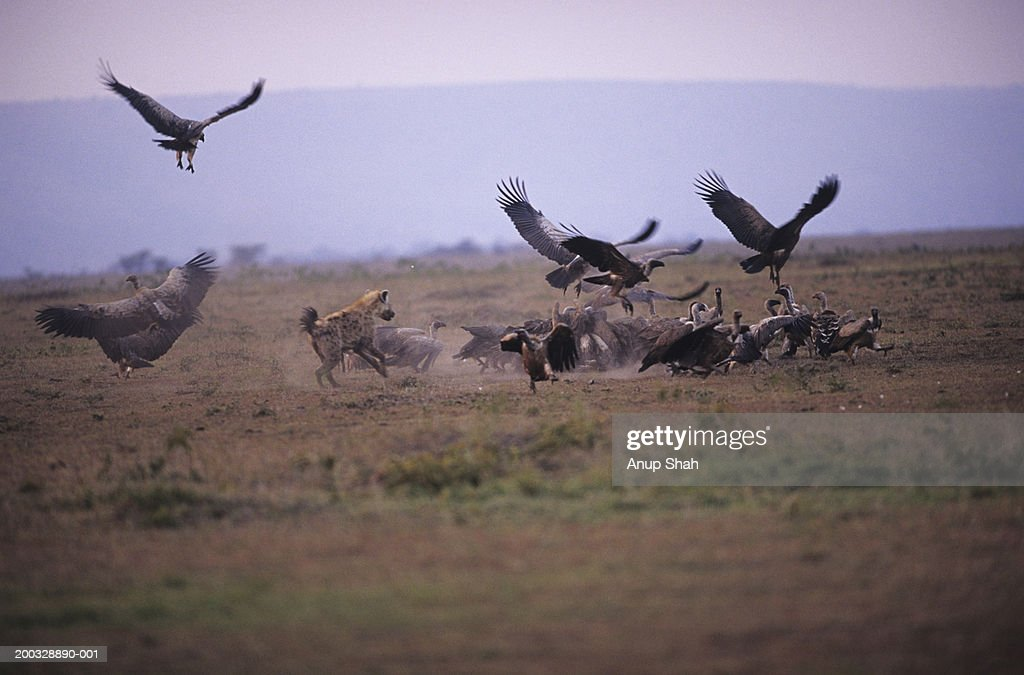 Spotted hyena (Crocuta crocuta) and vultures scavenging on savannah, Kenya : Stock Photo