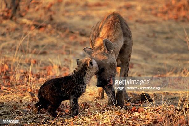 Spotted hyena (Crocuta crocuta) and young, Mashatu Game Reserve, Botswana, Africa