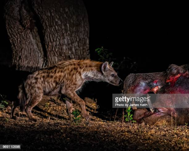 a spotted hyena cautiously approaches a dead hippopotamus at night in sabi sands game reserve. - night safari stock pictures, royalty-free photos & images