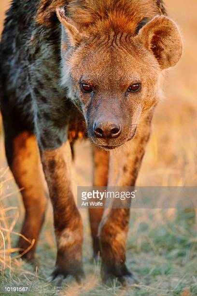 Spotted hyena  (Crocuta crocuta),  close-up