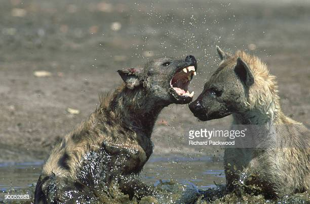 spotted hyena: crocuta crocuta  fighting in water. savuti.chobe np, botswana