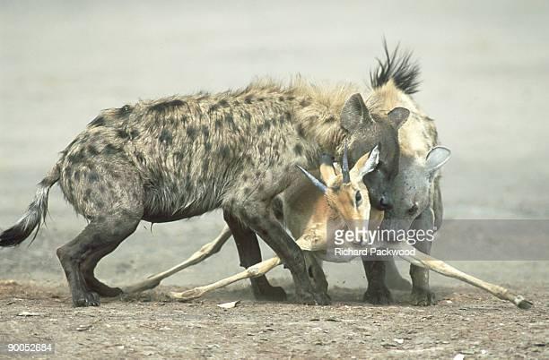 spotted hyena: crocuta crocuta  killing impala.   chobe np, botswana