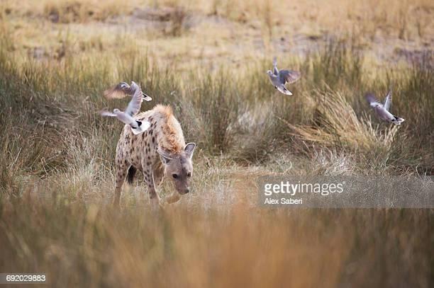 a spotted hyena, crocuta crocuta, walks through the long grasses in namibias etosha national park. - alex saberi fotografías e imágenes de stock