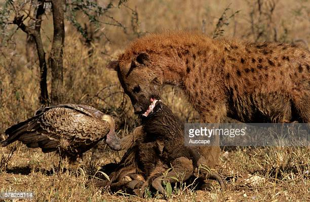 Spotted hyena Crocuta crocuta with carrion and a vulture Serengeti National Park Tanzania