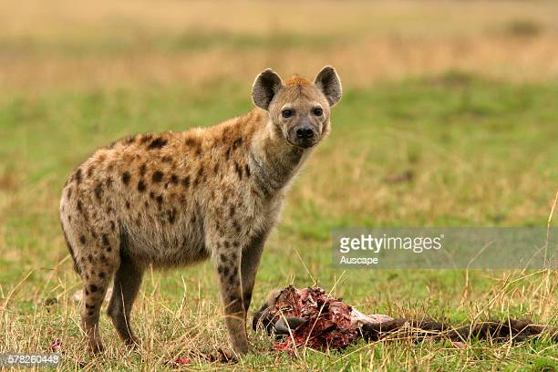 Spotted hyena Crocuta crocuta with carrion Masai Mara National Reserve Kenya East Africa