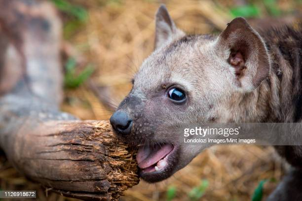 a spotted hyena cub, crocuta crocuta, alert, chews a log, mouuth open - spotted hyena stock pictures, royalty-free photos & images
