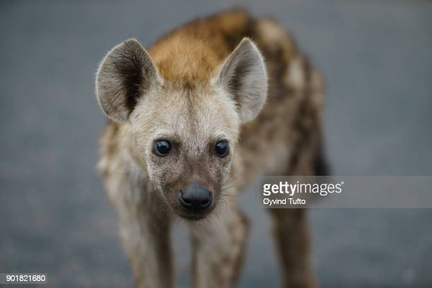 spotted hyena cub - spotted hyena stock pictures, royalty-free photos & images