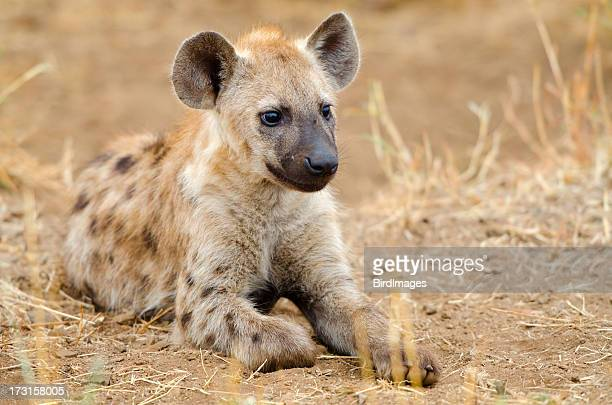 spotted hyena cub - south africa - hyena stock pictures, royalty-free photos & images