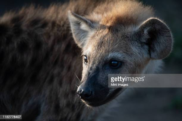 a spotted hyena cub's face, crocuta crocuta - hyena stock pictures, royalty-free photos & images