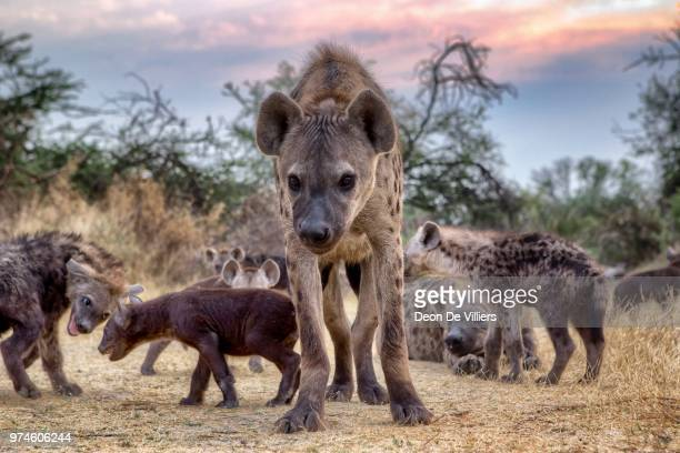 spotted hyena (crocuta crocuta) family, botswana - spotted hyena stock pictures, royalty-free photos & images