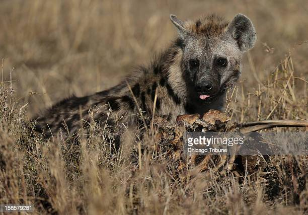 A spotted hyena feasts on an animal carcass in Serengeti National Park in the Northern part of Tanzania October 10 2012