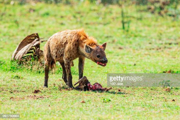 spotted hyena feeding frenzy - hyena stock pictures, royalty-free photos & images