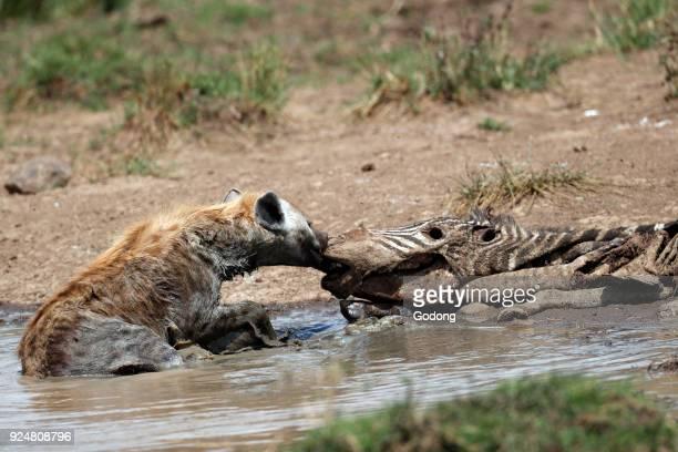 Spotted hyena feeding on a carcass of a zebra Masai Mara game reserve Kenya