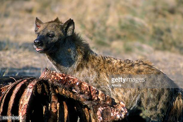 Spotted hyena feeding on buffalo carcass Kruger National Park South Africa