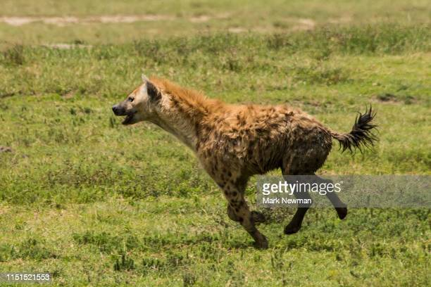 spotted hyena hunting - wild dog stock pictures, royalty-free photos & images