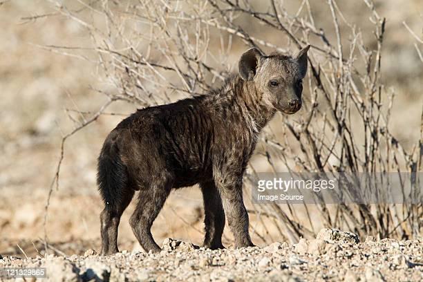 Spotted hyena in desert
