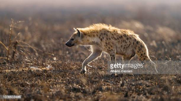 spotted hyena in serengeti. - hyena stock pictures, royalty-free photos & images