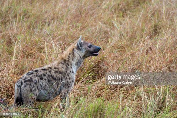 A spotted hyena in the Masai Mara National Reserve in Kenya