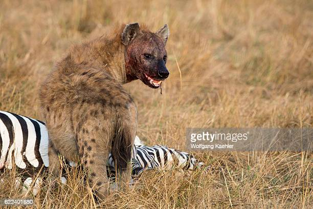 Spotted hyena is feeding on a zebra they killed in the grassland in the Masai Mara National Reserve in Kenya