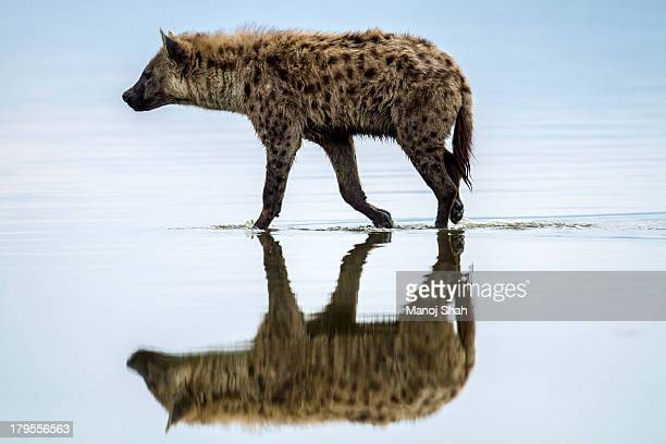 spotted hyena looking for weak flamingos - lake nakuru stock photos and pictures