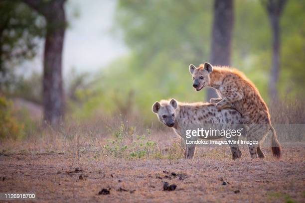 a spotted hyena male, crocuta crocuta, mounts a female while mating, looking away, backlit - sex stock photos and pictures