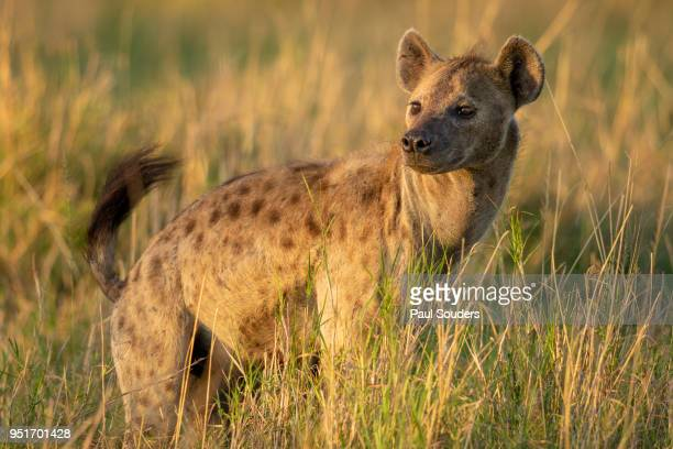spotted hyena, masai mara game reserve, kenya - spotted hyena stock pictures, royalty-free photos & images