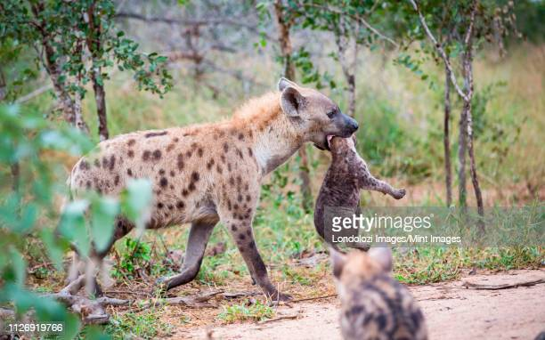 a spotted hyena mother, crocuta crocuta, carries her cub in her mouth by its neck, looking away, cub in the foreground. - spotted hyena stock pictures, royalty-free photos & images